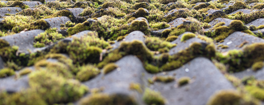 Roof tiles covered by moss